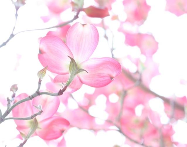 Beautiful, pink blooming branch