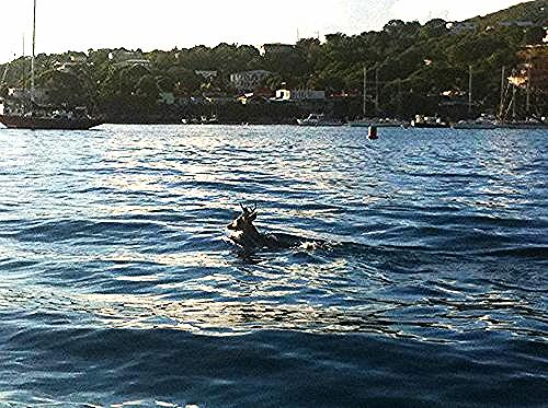 st john cruz bay harbor deer swimming