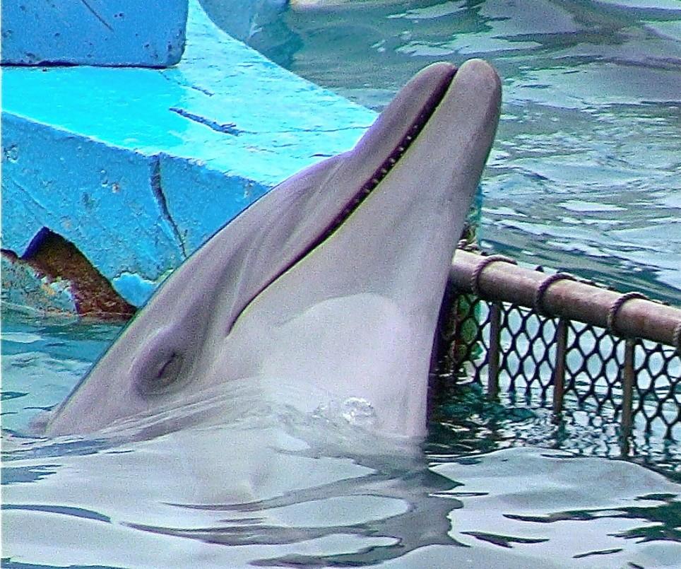 Sad dolphins resting head on concrete tank side