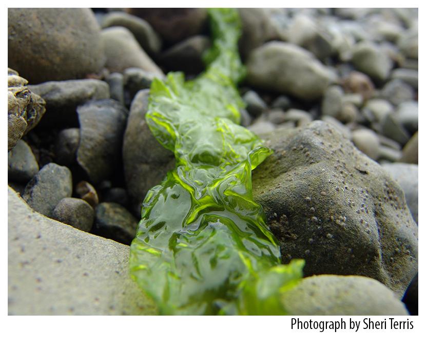 BC Seaweed