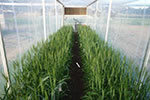 Wheat response to climate change