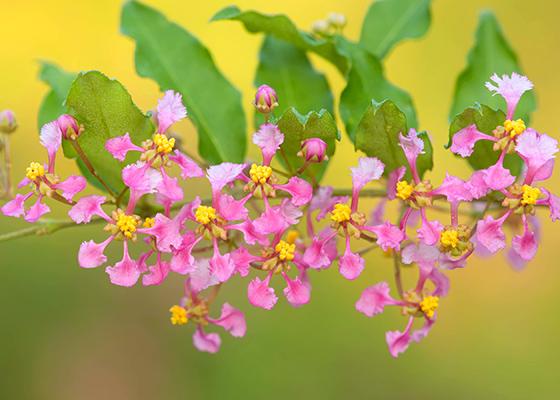 Barbados cherry (Malpighia glabra)
