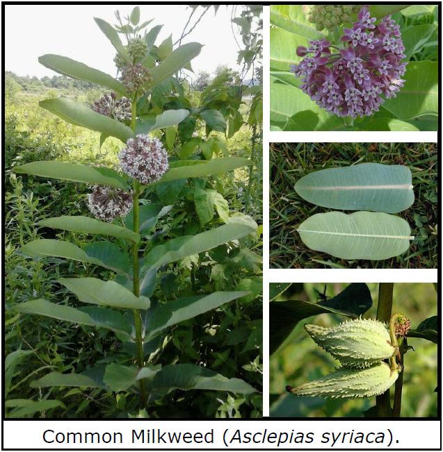 Common Milkweed (Asclepias syriaca).
