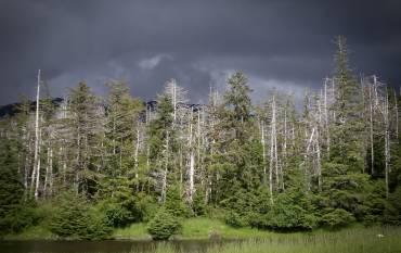 yellow cedar trees in Alaska