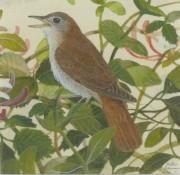 Peter Hayman (b.1930) - Signed Miniature 20th Century Gouache, Nightingale