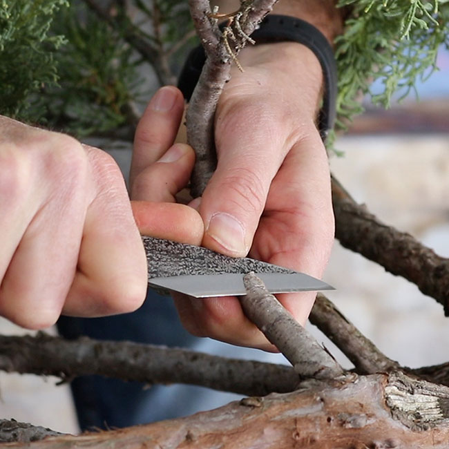Juniper Grafting with Mark Polson