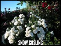 Snow Gosling