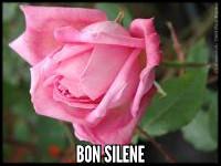 Bon Silene