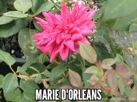 Marie d' Orleans