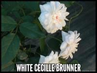 White Cecille Brunner