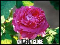 Crimson Globe