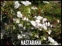 Nastarana