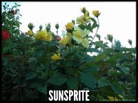 Sunsprite