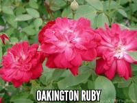 Oakington Ruby