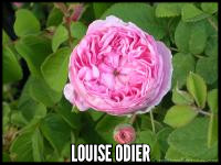 Louise Odier