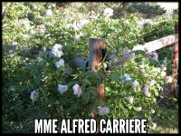 Mme Alfred Carriere