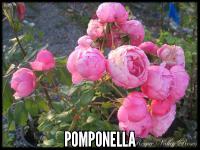 Pomponella™®