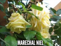 Marechal Niel