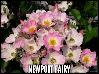 Newport Fairy