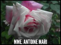 Mme Antoine Mari