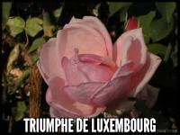 Triumphe de Luxembourg (Rhodologue Jules Gravereaux)