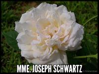 Mme Joseph Schwartz