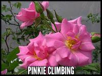 Pinkie, Cl