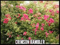 Crimson Rambler (Turner's Crimson Rambler)