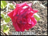 Hadley, CL.
