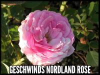 Geschwind's Nordland Rose