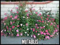 Mutablis (R. Chinensis Mutablis)