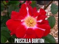 Priscilla Burton
