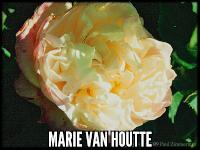 Marie Van Houtte