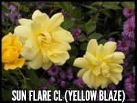 Sun Flare, Cl. (Yellow Blaze)