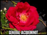General Jacqueminot (General Jack)