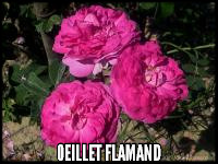 Oeillet Flamand