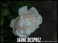 Jaune Desprez