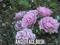 Angel Face, bush