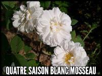 Quatre Saison Blanc Mosseau