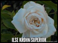 Ilse Krohn Superior