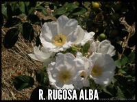 R. rugosa alba