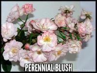 Perennial Blush