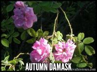 Autumn Damask (Quatre Saisons)