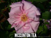 McClinton Tea