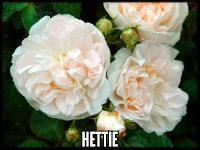 Hettie™