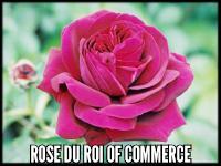 Rose du Roi of Commerce