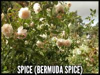 Spice (Bermuda Spice)