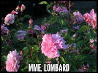 Mme Lombard