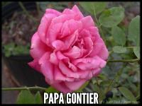 Papa Gontier