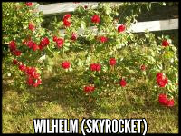 Wilhelm (Skyrocket)